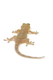 Japanese gecko Royalty Free Stock Photography