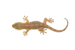 Japanese gecko Royalty Free Stock Images
