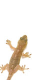 Japanese gecko Stock Photography