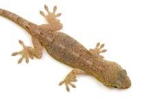 Japanese gecko Royalty Free Stock Photo