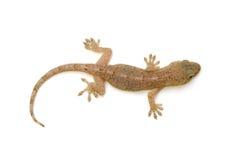 Japanese gecko Royalty Free Stock Photos
