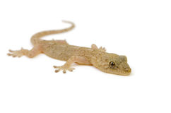 Japanese gecko Royalty Free Stock Photos