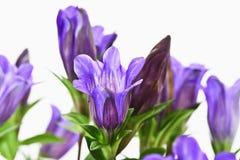 Japanese gentioan, Gentiana scabra Stock Photo