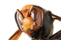 Japanese giant hornet. Close up of Vespa mandarinia Stock Image