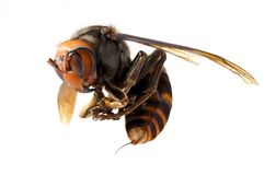 Japanese giant hornet Stock Images