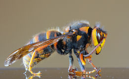 Japanese giant hornet closeup macro, also called giant sparrow bee Royalty Free Stock Photo