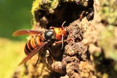 Japanese giant hornet Royalty Free Stock Photography