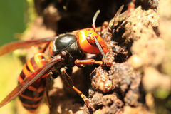 Japanese giant hornet Stock Photography