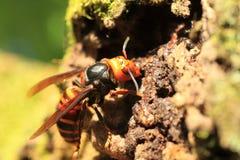 Japanese giant hornet Royalty Free Stock Image