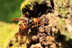 Japanese giant hornet. (Vespa mandarinia) in Japan Royalty Free Stock Photo