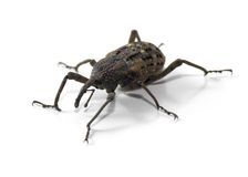 Japanese Giant Weevil Stock Photography