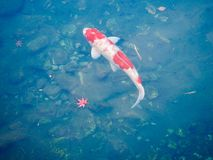 Japanese Goldfish Koi and Autumn Leafs stock image