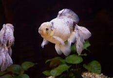 Japanese goldfish white color Stock Image