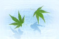 Japanese green maple on blue water ripple Stock Photo