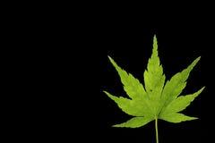 Japanese green maple leaf on black Royalty Free Stock Photo