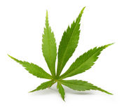 Japanese green maple leaf isolated stock image