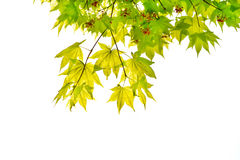 Japanese green maple leaf Stock Images