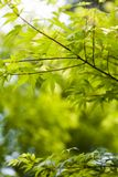 Japanese green maple leaves. In botany, a leaf is an above-ground plant organ specialized for photosynthesis. For this purpose, a leaf is typically flat (laminar Stock Image
