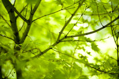 Japanese green maple leaves. In botany, a leaf is an above-ground plant organ specialized for photosynthesis. For this purpose, a leaf is typically flat (laminar Royalty Free Stock Photography