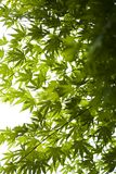 Japanese green maple leaves. In botany, a leaf is an above-ground plant organ specialized for photosynthesis. For this purpose, a leaf is typically flat (laminar Stock Photo