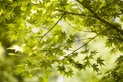 Japanese green maple leaves. In botany, a leaf is an above-ground plant organ specialized for photosynthesis. For this purpose, a leaf is typically flat (laminar Royalty Free Stock Images