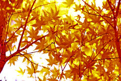 Japanese green maple leaves. In botany, a leaf is an above-ground plant organ specialized for photosynthesis. For this purpose, a leaf is typically flat (laminar Royalty Free Stock Photo