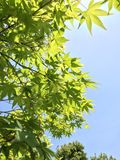 Japanese green maple Royalty Free Stock Photography