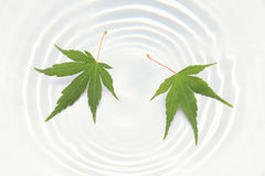 Japanese green maple on white water ripple Stock Photography