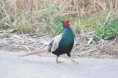 Japanese or Green Pheasant Stock Photo