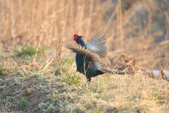 Japanese or Green Pheasant Royalty Free Stock Photos