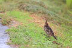 Japanese Green Pheasant Stock Photos