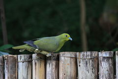 Japanese green pigeon Royalty Free Stock Photos