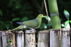 Japanese green pigeon Stock Photography