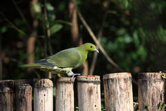 Japanese green pigeon Stock Image