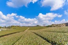 Japanese green tea field in Japan Royalty Free Stock Image