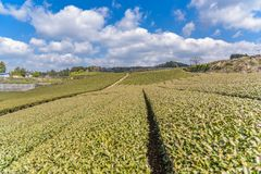 Japanese green tea field in Japan Royalty Free Stock Photos