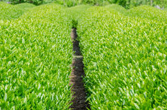 Japanese green tea field Stock Photo