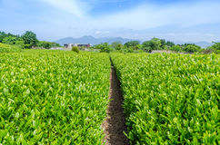 Japanese green tea field Stock Photos