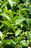Japanese green tea plant Royalty Free Stock Photos