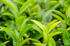 Japanese green tea plant Stock Photo