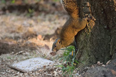 Japanese grey Squirrel in playful mood Royalty Free Stock Images