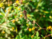 Japanese gumo spider on its web 3 stock images