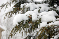 Japanese hemlock branches covered in snow. Japanese hemlock branches covered in fresh snow Stock Image