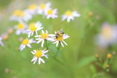 Japanese honeybee on wild chrysanthemum Stock Photos