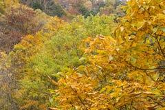 Japanese horse chestnut leaves Stock Photos