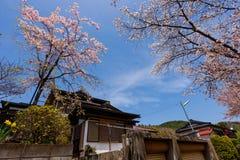 Japanese house with cherry blossom or sakura. Japanese houses with cherry blossom or full bloom sakura against blue sky at Oshino Hakkai village, Yamanashi stock photography