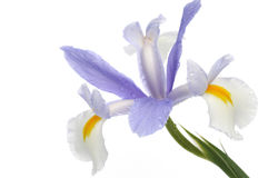 Japanese iris Royalty Free Stock Photo