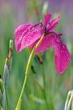 Japanese iris flower Royalty Free Stock Image