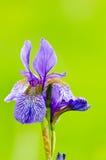 Japanese iris or Siberian iris Stock Photo