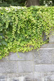 Japanese Ivy Stock Photography